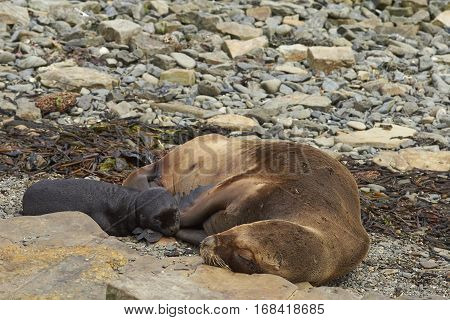 Female Southern Sea Lion (Otaria flavescens) with pup on the coast of Bleaker Island in the Falkland Islands.