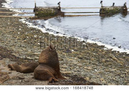 Breeding pair of Southern Sea Lions (Otaria flavescens) with pup on the coast of Bleaker Island in the Falkland Islands.