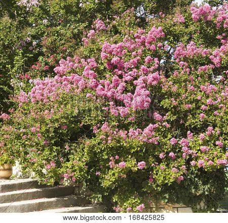 Japanese lilac latin name Syringa Japonica pink colour recorded on Saint Constantine and Helen resort Bulgaria.