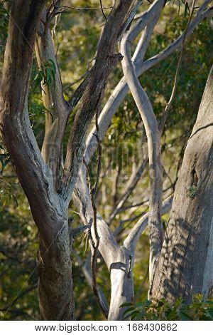 Trees in the woods of Australia