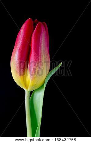 Red and yellow tulip on a black background