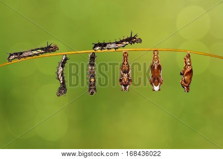 Transformation caterpillar to pupa of commander butterfly ( Moduza procris ) resting on twig