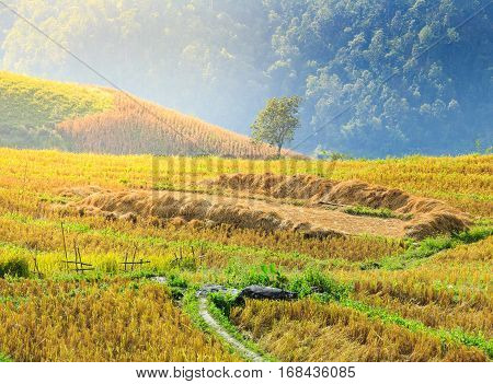 Rice field with rice stubble left after harvesting on high mountain at Ban Pa Pong Piang at sunset Chiang Mai province Thailand