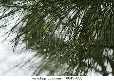 rain drops on pine needles, freshness of the pine forest