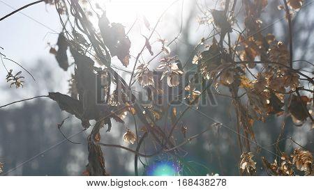 dry hops sun glare winter nature forest landscape