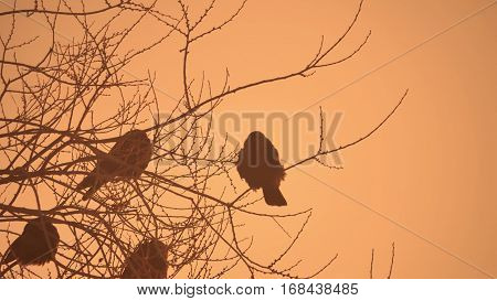 sunset crows nature flock of birds sitting on tree cold winter