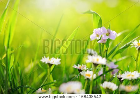 Beautiful Daisy in a meadow . Daisies in grass - light bokeh.