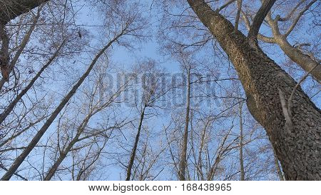 dry forest treetops trunks against blue sky nature the landscape