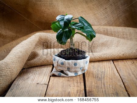 Hibiscus houseplant in paper packaging on sackcloth wooden background