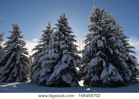 snow covered pine trees outlined by the sun