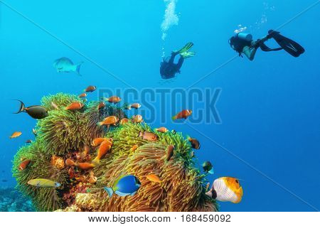 Two scuba divers exploring sea bottom. Underwater life with beautiful anemon and lots of colored fish