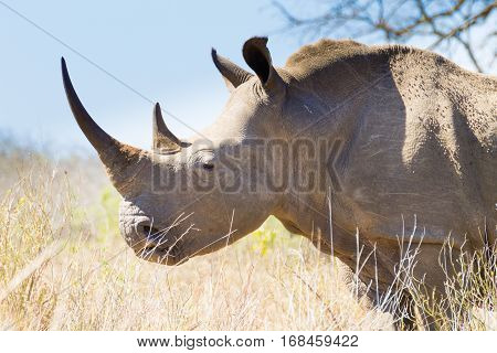 Isolated Rhinoceros Close Up, South Africa
