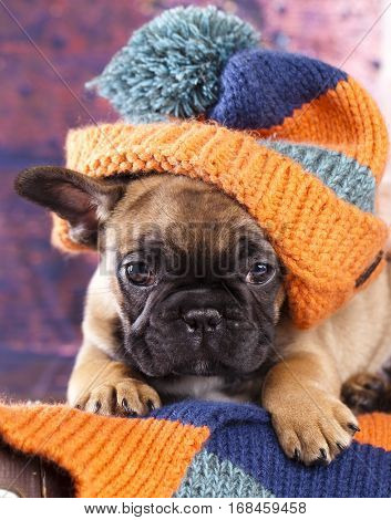 french bulldog puppy in hat