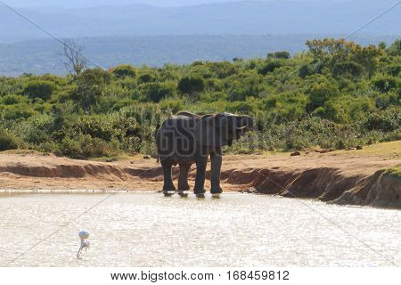 Elephant Drinking Water From Waterhole