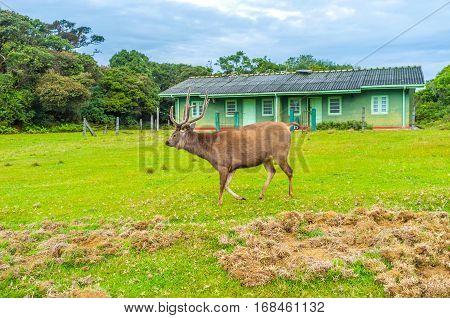 The Sri Lankan sambar deer is the biggest mammal in Horton Plains National Park Sri Lanka