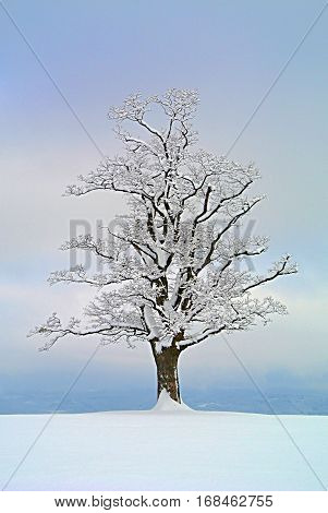 One maple tree solitaire in winter on a snowy field