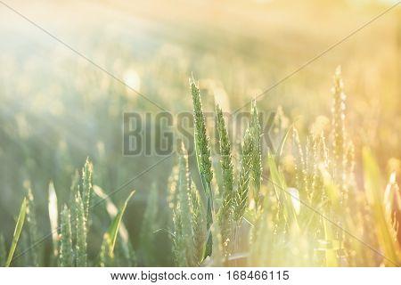 Unripe wheat - green wheat field lit by sun rays, by sunlight