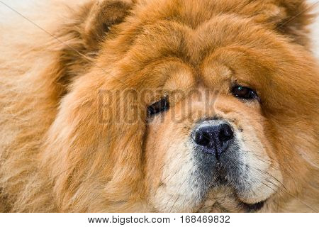 Portrait of a red dog breed Chow Chow close-up.