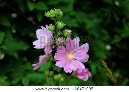 Pink flowers on chicory on deep green background. Chicory growing in forest. Wild chicory flower.