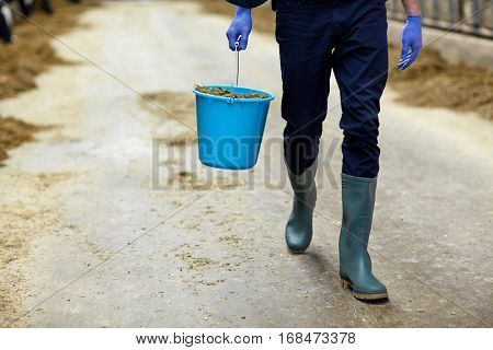 agriculture industry, farming, people and animal husbandry concept - man or farmer with bucket of hay walking along cowshed on dairy farm
