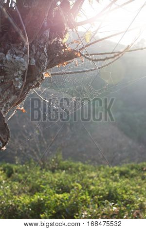 Forest trees and the cobweb with sunlight