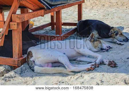 Homeless dog lying and sleeping in the shadow of the sun lounger on Cavelossim Beach in South Goa, India