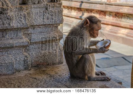 Gray monkey eating a coconut while sitting on the stone of the Virupaksha temple in Hampi, India.