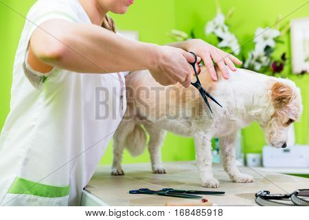Little dog being furdressed ny woman in parlor
