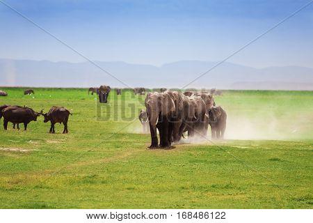A herd of African elephants with cubs walking in Kenyan savannah leaving clouds of dust behind