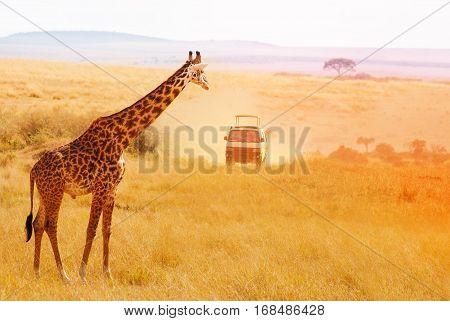 Picture of beautiful giraffe looking at safari jeep at sunset, Kenya, Africa