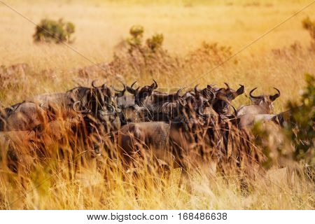 Herd of wildebeests having rest in dry tall grass during Great Migration, South Africa
