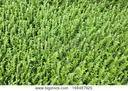 Field of green leafs growing herbaceous plant