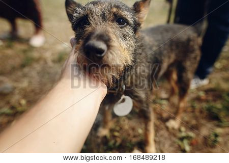 Hand Of Man Caress Cute Little Black Fluffy Dog From Shelter In Belt Posing Outside In Sunny Park, A