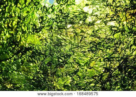 Sea Weed Green