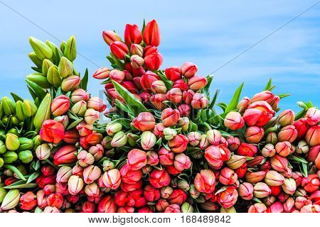 Newly picked fresh tulips to be sold. Bunches stacked together with blue sky behind. Springtime in Holland.