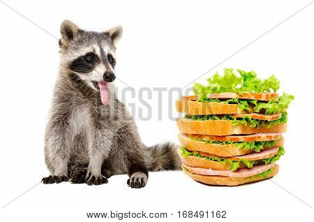 Funny raccoon sitting with tongue hanging out, looking at the big tasty sandwich, isolated on white background