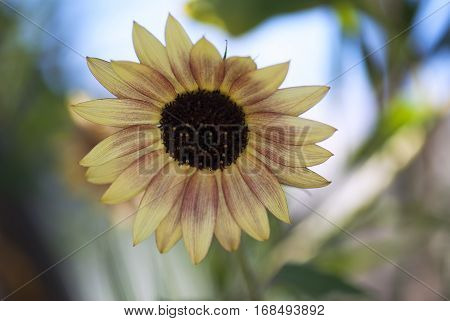 A variegated sunflower blooms on a summer day.