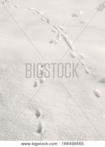 Footprints of wild animals found on the snow