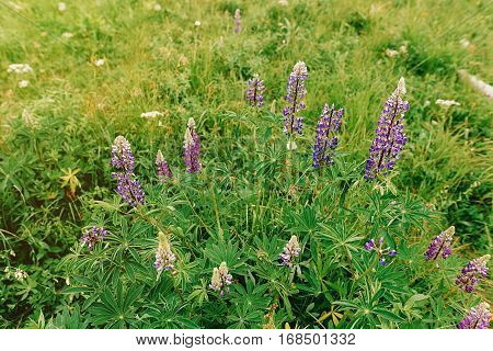 Beautiful Lupine Wildflowers On Hills In Summer Mountains,  Travel And Summer Explore Concept, Envir