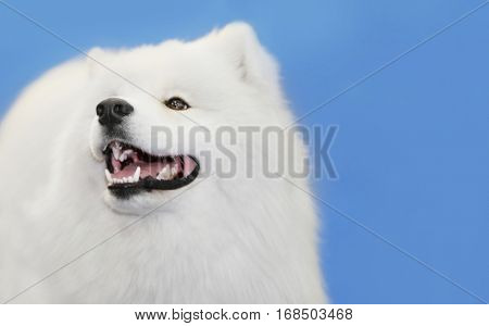 Cute samoyed dog with owner at show, closeup