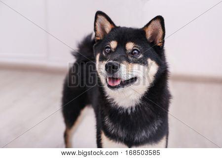 Cute little Shiba Inu dog at home