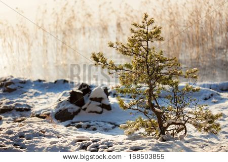 Small pine tree at lakeside warm winter sunlight