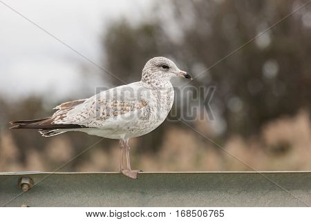 Sea Gulls On Guardrail
