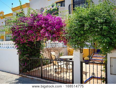 Beautiful plant of climbing bougainvillea on the facade of a house
