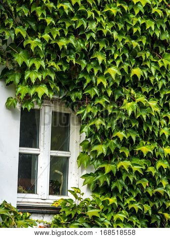 a house is fully overgrown with ivy