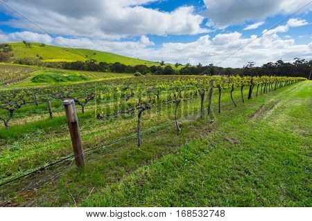 Vineyard in the Barossa Valley, South Australia in spring