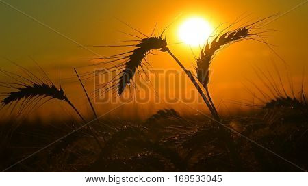 Bearded wheat against a prairie sunset