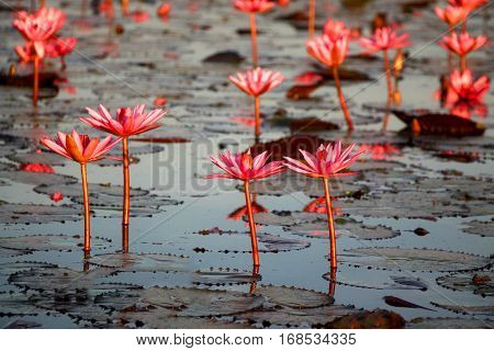 Red lotus in Udon Thani Province of Thailand