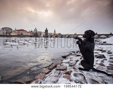 Black dog posing on bank of river Vltava in Prague, Charles bridge in background.