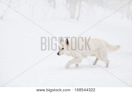 White swiss shepherd dog outside in winter snow hunting.